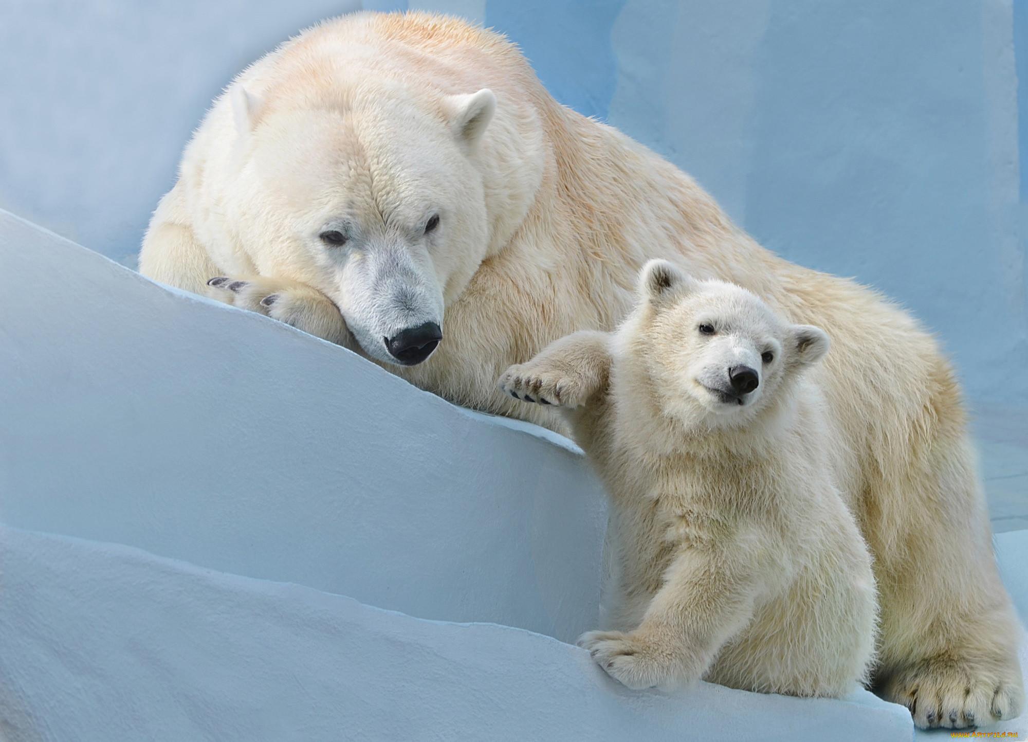 фото белого медведицы с медвежатами каталоге много готовых